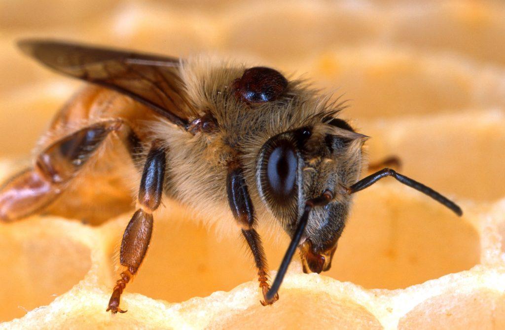 bee_honeybee_honeycomb